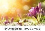 Purple Crocus Flowers In Snow ...