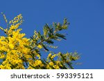 Yellow Mimosa Flowers On Blue...