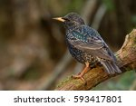 Common starling. bird in spring ...