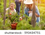 rural family pick organically... | Shutterstock . vector #593434751