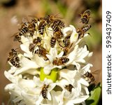 many bees on a white flower.... | Shutterstock . vector #593437409
