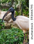 Small photo of African sacred ibis or Threskiornis aethiopicus stands on a rocks and tropical shrubs background in Kuala Lumpur Bird park, Malaysia.