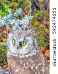Small photo of Bird of Minerva, goddess of wisdom. Portrait of boreal owl (Tengmalm's owl, Aegolius funereus) in characteristic interior of Northern taiga (boreal coniferous forest)