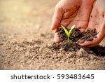 men hands are planting the... | Shutterstock . vector #593483645