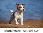 Cute Jack Russell Terrier Dog...