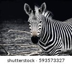 beautiful african zebra.... | Shutterstock . vector #593573327