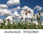 Detail Of Flowering Opium Popp...