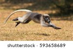 Dusky Leaf Monkey Jumping On...