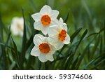 Bright Spring Daffodil Flowers...