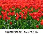 Spring Scene Of Tulip Field In...