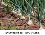 Organically Grown Onions