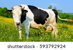 cow on a summer pasture | Shutterstock . vector #593792924