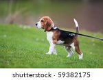 Stock photo dog on green meadow beagle puppy walking 59382175