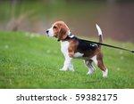 Stock photo dog on green meadow beagle puppy walking 59382175
