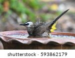 Yellow Vented Bulbul  A Song...