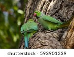Two Rose Ringed Parakeets...