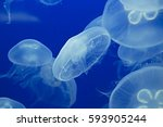 moon jellyfish drifting softly... | Shutterstock . vector #593905244