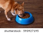 chihuahua dog eat feed. bowl of ... | Shutterstock . vector #593927195