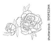 sketch of two beautiful peonies ... | Shutterstock .eps vector #593952344