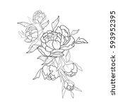 sketch of beautiful peonies on... | Shutterstock .eps vector #593952395