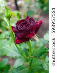 beautiful red rose in the...   Shutterstock . vector #593957531