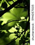 Small photo of View into the fresh green forest canopy in spring with translucent leaves of horse chestnut tree, illuminated by sun and casting shadows and silhouettes on overlapping parts