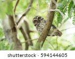 collared scops owl otus... | Shutterstock . vector #594144605