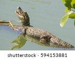 broad snouted caiman  caiman... | Shutterstock . vector #594153881
