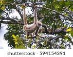 young northern muriqui ... | Shutterstock . vector #594154391
