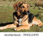 Small photo of German shepherd beagle cross/mix dog looking fed up and accusingly at owner. Sunny day in a grass field.