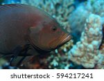Small photo of Redmouth grouper (Aethaloperca rogaa) underwater in the coral reef of the Red Sea