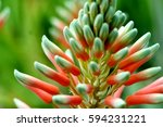flowering aloe plant close up | Shutterstock . vector #594231221