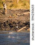 Small photo of African fish eagle (Haliaeetus vocifer) Perching on the Ground, South Africa, Kruger Park