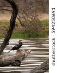 Small photo of African darter (Anhinga rufa) Perching on Tree Trunk above Water, South Africa, Kruger Park