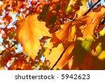 orange autumn leaves in the sun | Shutterstock . vector #5942623
