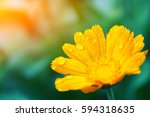 Small photo of beautiful yellow daisy in the morning dew. Shallow depth of field