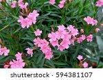 neurium oleander tree | Shutterstock . vector #594381107