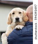 golden retriever labrador | Shutterstock . vector #594393497