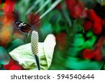 A Tiger Heliconian Butterfly O...