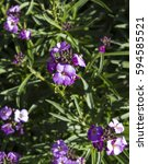 Small photo of Pretty mauve flowers of Perennial wallflower plants genus Erysimum, or Cheiranthus, sometimes called Gillyflower add a splash of vibrant color to a drab winter garden landscape.