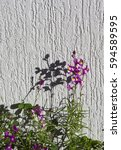 Small photo of Small dainty small two lipped blooms of perennial nemesia flowering in winter add charming soft pink, white and mauve color to a drab garden landscape.