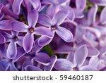 Macro Lilac Flower