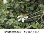 Horace's Duskywing Butterfly...