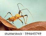 assassin bug | Shutterstock . vector #594645749