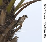 Small photo of American Kestrel (female) perched in a palm tree