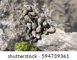 Small photo of small Sea Snail Sulcate Planaxis