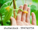 Flowering Of Cucumbers  A Small ...
