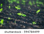 crops planted in rich soil get... | Shutterstock . vector #594784499