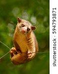 kinkajou  potos flavus ... | Shutterstock . vector #594793871