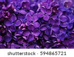 Spring Flowers Of Lilac In The...